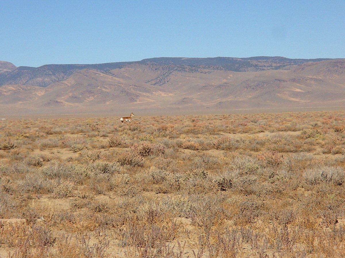Antelope at Spencer Hot Springs